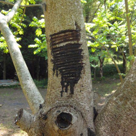 arbre-urushi-nicolas-pinon